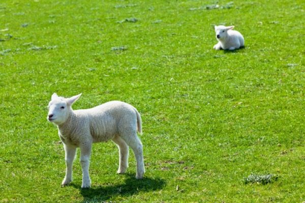 Two lambs on the green grass. Horizontal shot