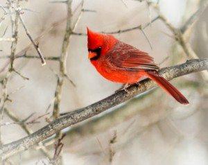 A closeup photo of a Cardinal bird in winter.